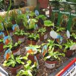 carnivorous-plants