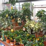 citrus-plants